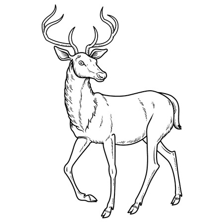 cloven: Elegant sika deer goes - vector illustration