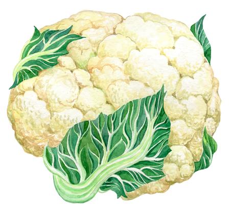 Cavolfiore - acquerello disegnato a mano illustrazione pittura vettoriale su sfondo bianco Archivio Fotografico - 51040286