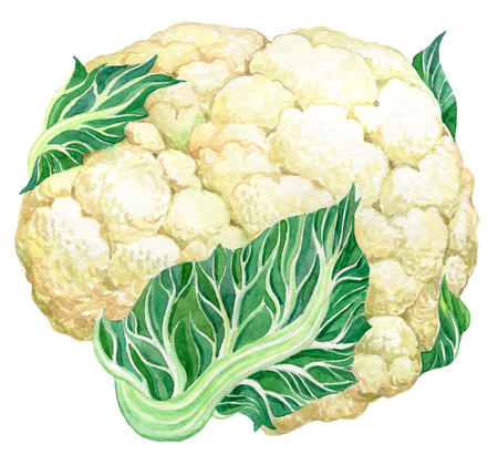Cauliflower - Hand drawn watercolor painting vector illustration on white background