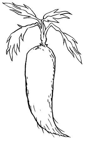 dikon: Vegetal, ilustración vectorial de frescas blancas o rábanos Daikon rábanos