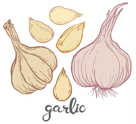 cloves: Garlic and some cloves of garlic - Hand-drawn Herbs and spices vector illustration