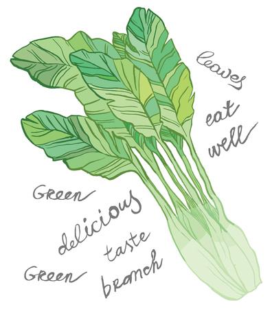 spinach salad: Green salad - vector hand drawing