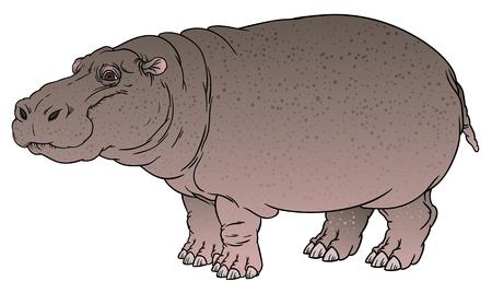 sub tropical: naturalistic vector hand drawing illustration of hippo or Hippopotamus amphibius or river horse