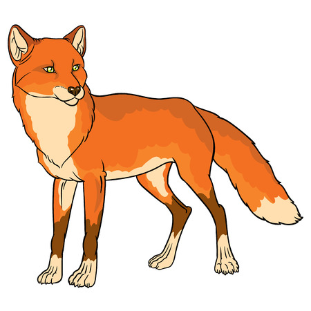 naturalistic: naturalistic illustration of fox - vector hand drawing