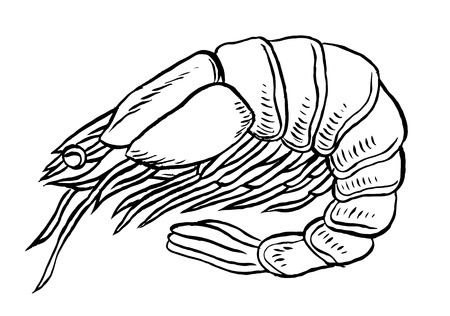 Cooked shrimp or prawn isolated vector illustration
