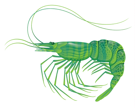krill: shrimp isolated on white realistic vector illustration