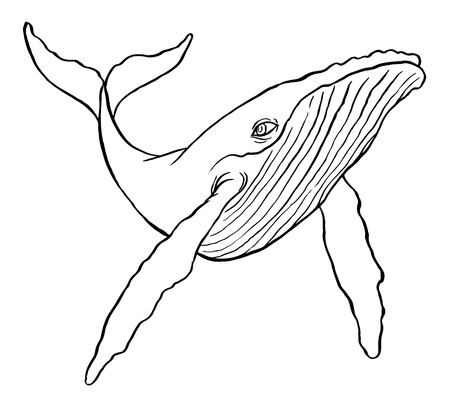 humpback: Hand drawn line art illustration of a Humpback Whale