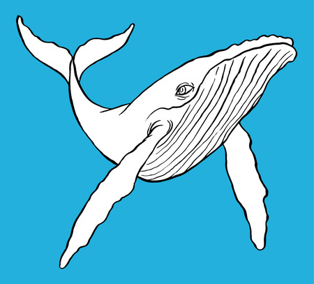 baleen whale: Hand drawn line art illustration of a Humpback Whale