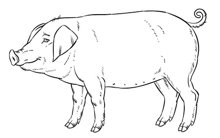 hoofed mammal: outline hand drawing of domestic pig - vector illustration