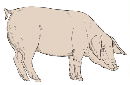 isolated illustartion: color hand drawing of domestic pig - vector illustartion