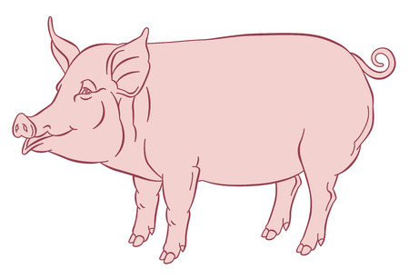 sow: color hand drawing of domestic pig - vector illustration