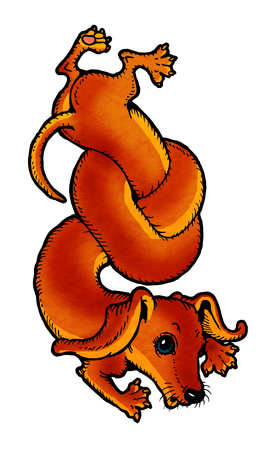 red haired: Red-haired dachshund tied itself in a knot. From a series of images of funny dogs.