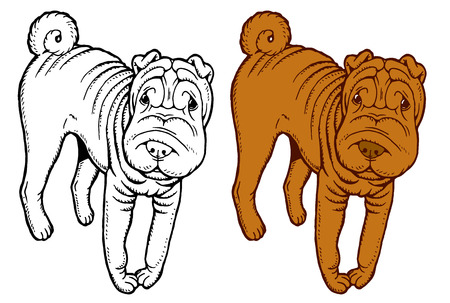 Shar Pei - hand drawing vector color sketch dog breed 向量圖像
