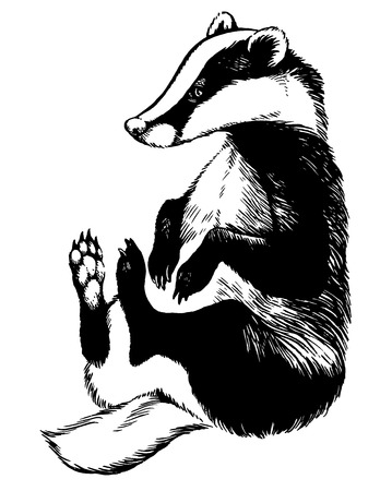 badger: european badger or meles meles - black and white vector image, side view picture isolated on white background