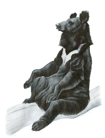asiatic: Asian black bear or moon bear - ink hand-drawing illustration
