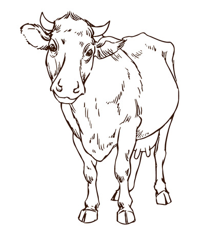 naturalistic: cute naturalistic cow  - line drawing hand-drawing sketch