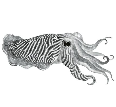 ストライプ イカ インク水彩図面 - 触手と手描きの食用海産軟体動物 写真素材 - 51352817