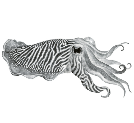 tentacles: Striped cuttlefish ink watercolor drawing - Hand drawn edible marine mollusk with tentacles Stock Photo