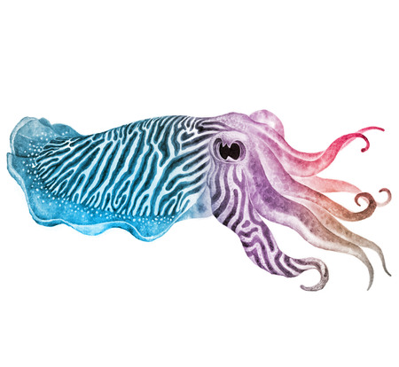 Striped cuttlefish ink watercolor drawing - Hand drawn edible marine mollusk with tentacles Stock Photo
