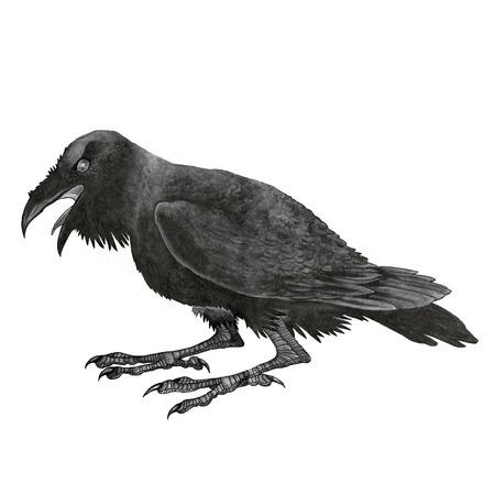 black raven: Black raven or corbie - hand drawing watercolor monochrome bird