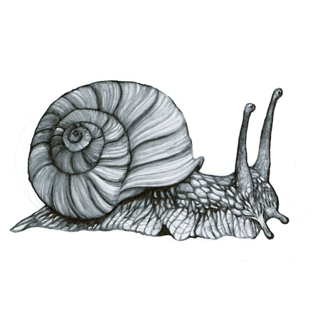 edible snail: Snail hand-drawing watercolor textured naturalistic detailed realistic  illustration