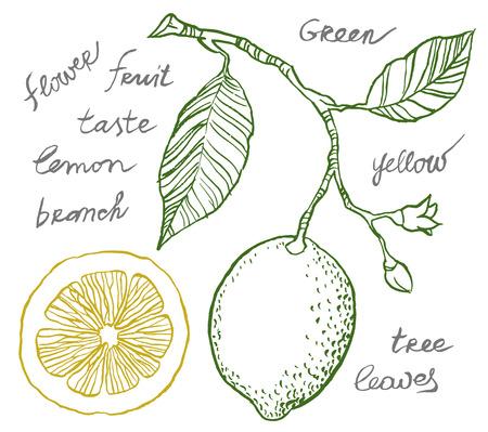 sliced fruit: Vector hand drawing - lemon on branch, leaves and flowers of lemon, sliced fruit