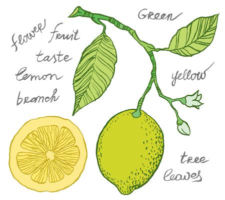 Vector hand drawing - lemon on branch, leaves and flowers of lemon, sliced fruit