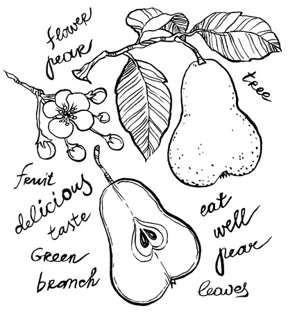 sliced fruit: Vector hand-drawing - pear on branch, leaves and flowers of pear, sliced fruit