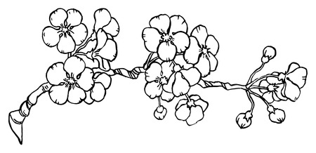 Cherry or japan sakura branch in blossom isolated on a white - Hand drawing Vector illustration.