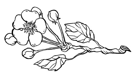 Apple tree branch in blossom line art isolated on a white - Hand drawing Vector illustration.
