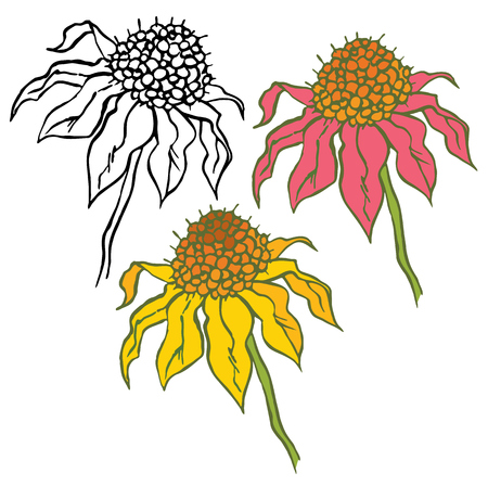 officinal: Echinacea Purpurea, officinal plant on white, hand drawing cone flower, vector illustration Illustration