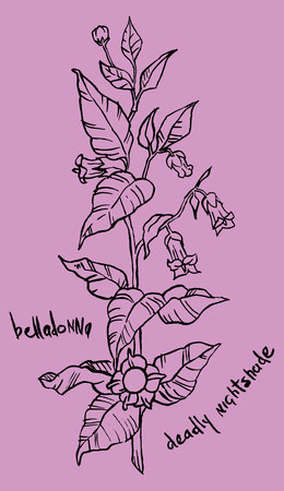 belladonna: Vector illustration of a belladonna plant with its leaves, flower and fruits