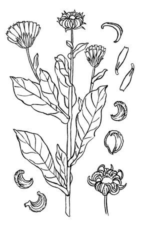 calendula: hand drawing sketch marigold or calendula - ink style drawing Illustration
