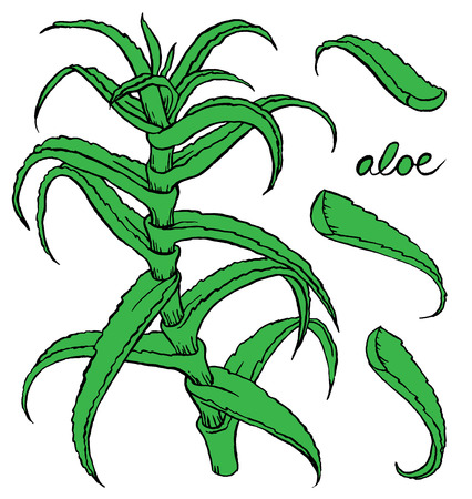vera: Aloe vera colored hand drawn vector sketch