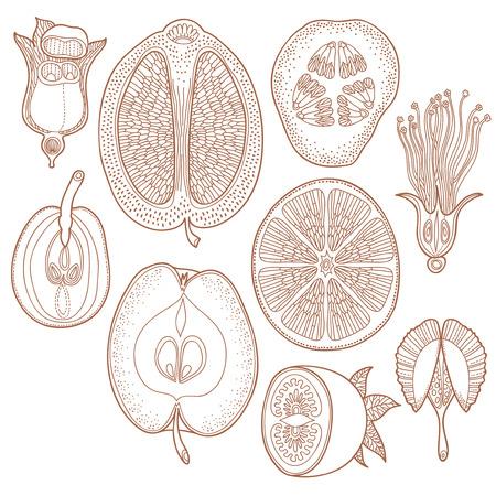 Vector collectie van de hand getekende groenten fruitoogst of fruitage - Vector floral design elementen. Grafische bloemen fruit zaden en planten in decoratieve stijl Stock Illustratie