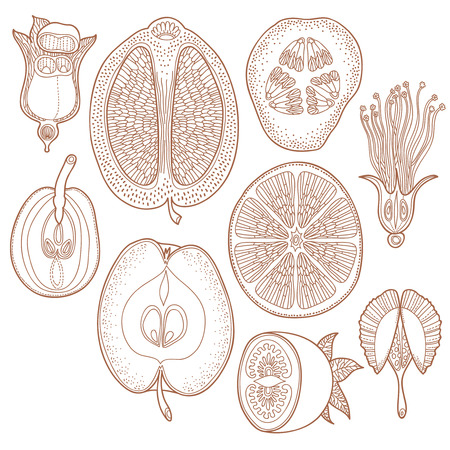 Vector collection of hand drawn vegetables fruit  harvest or fruitage - Vector floral design elements. Graphic floral fruit seeds and plants in decorative style
