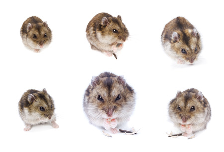 hamsters: Hamsters. Set. Isolated on white Stock Photo