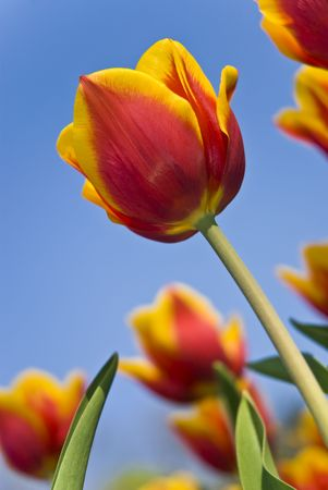 Beautiful flower red and yellow tulips in park photo