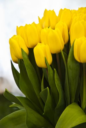 Beautiful flower yellow tulips photo