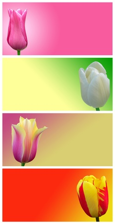 Red, yellow, white and pink tulips on a colored background. Abstract image flowers. photo