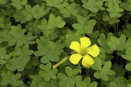 Clover Batch with yellow Flower Stock Photo - 2245174