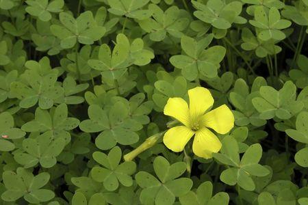 Clover batch with yellow flower stock photo picture and royalty clover batch with yellow flower stock photo 2245174 mightylinksfo