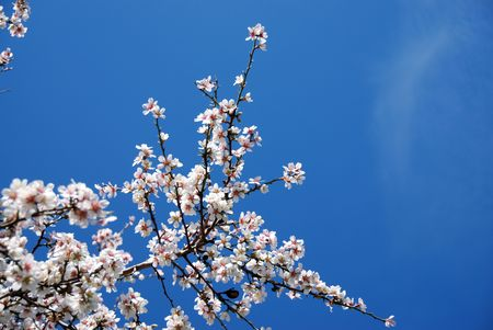 Pulm white blossom flowers against a blue sky  Stock Photo - 2374053