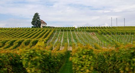 grape field: Landscape from Switzerland. Grape field for wine
