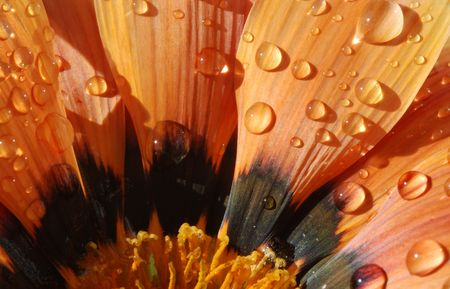 Colorful Gazania flower  with water drops on the petals Stock Photo - 2374130