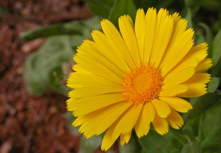 Yellow Argyranthemum flower Stock Photo - 2435424