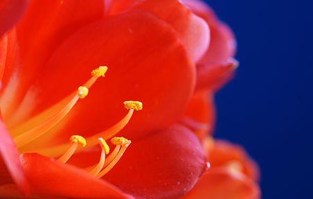 florets: Red Crocus flower. Stock Photo