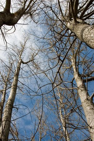 Tree trunks in sping with no leaves on the branches Stock Photo - 2435438
