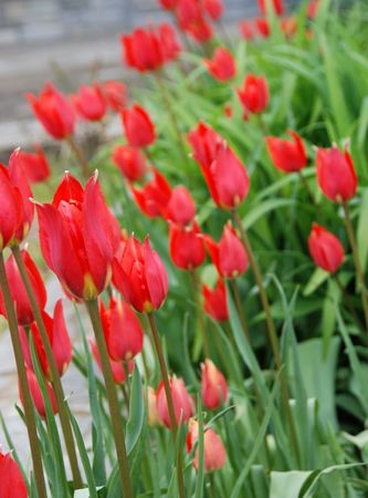 Garden of red tulips    Stock Photo - 2449012
