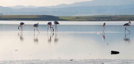 Flamingos at the salt lake in Larnaka Cyprus